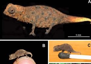 На Мадагаскаре найден самый маленький хамелеон