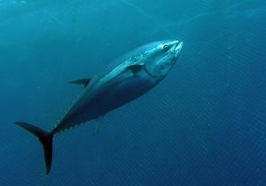 Ученые: тунец принес радиацию из Японии в Калифорнию