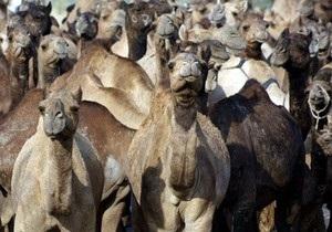 Украинские пограничники снова отказали в транзите российским верблюдам