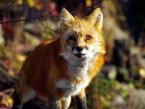В России лиса напала на двух человек