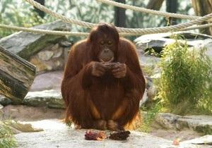 В Малайзии вылечат от табачной зависимости курящего орангутанга Ширли