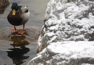 В Якутии чудом пережившая морозы утка погибла в ДТП