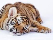На центральной улице Житомира задержали человека с тигром