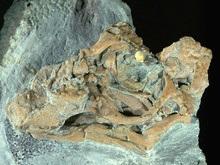 В Китае найдены останки неизвестного ранее доисторического ящера