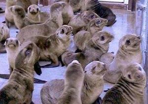В Калифорнии на пляж выбросились сотни детенышей морских львов