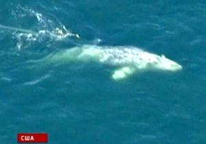 У берегов Калифорнии спасают кита