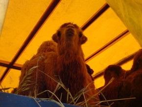 Российские верблюды пасутся у границы с Украиной в ожидании разрешения на транзит