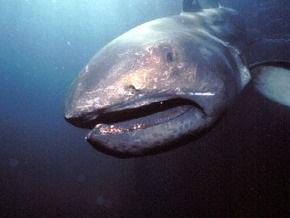 Филиппинские рыбаки на глазах у экологов поймали и съели редкую акулу