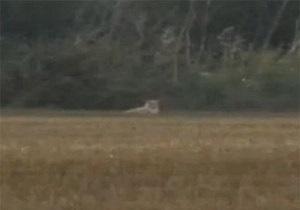 Лев, которого британская полиция искала на вертолетах, оказался котом