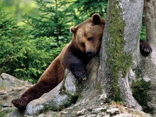 Биологи выяснили, почему медведи не теряют мышечную массу во время спячки