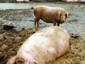 Свиной грипп: РФ ужесточает таможенный контроль и ограничивает импорт свинины