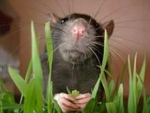 В Австралии обнаружены цветы-пожиратели крыс