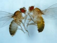 Биологи обнаружили у мух-дрозофил задатки социального поведения