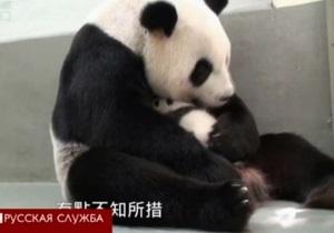 Панда встречает детеныша после разлуки - видео