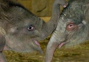 Слонов в киевский зоопарк завезут после ремонта слоновника