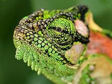 Ученые: Хамелеоны меняют цвет для коммуникации с сородичами