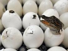 Крокодилы начинают общаться друг с другом еще до рождения