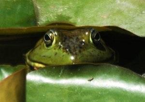 Ученые: Геном лягушки похож на человеческий
