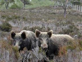 В Малайзии от свиного гриппа спасаются с помощью диких кабанов