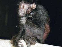 В Бразилии обнаружен новый вид обезьян уакари
