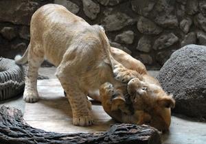 Фотогалерея: Кошачий праздник в Киевском зоопарке