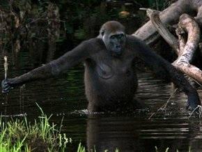 Биологи установили, что гориллы используют секс в качестве оружия