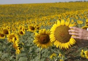 Украина собрала рекордный урожай подсолнечника