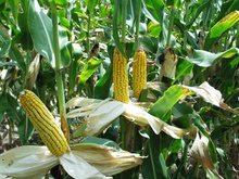 Мобильные телефоны будут делать из кукурузы