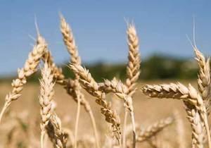 Кабмин намерен закупить более миллиона тонн зерна в госрезерв