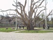 Легендарный 700-летний запорожский дуб погибает
