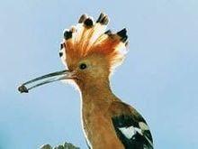 Птица удод выбрана национальным символом Израиля