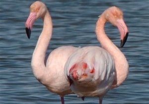 В Индии погибли около 140 фламинго
