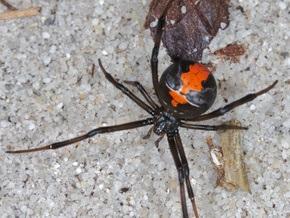 Размер и сила самцов пауков не влияют на успех спаривания