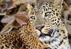 В Непале арестованы 14 человек, которые съели леопарда с целью исцеления