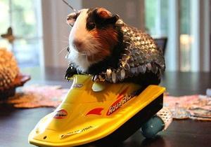 Новости США - странные новости - интернет: Американец выставил на аукцион доспехи для морской свинки