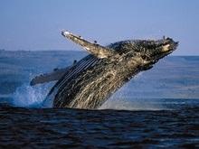 Ученые изучат охотско-корейскую популяцию серых китов