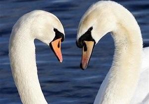 В Крыму два лебедя примерзли ко льду