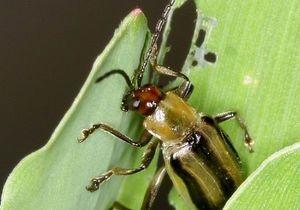 Кишечные бактерии ускорили эволюцию жука-вредителя