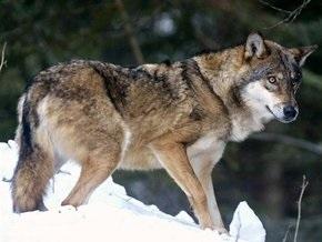 В грузинской деревне нескольких человек покусали волки
