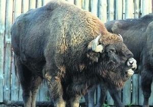 В Киевском зоопарке уверены, что причиной смерти бизона стало отравление