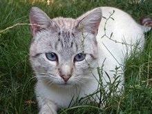 Плодородный полумесяц является прародиной домашних кошек