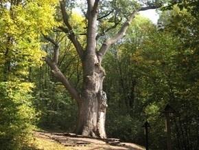 В Украине определят самое старое дерево