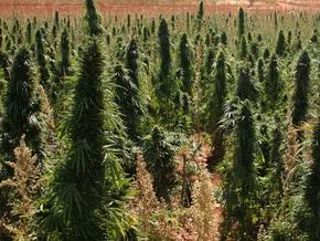В Одесской области нашли свыше 100 гектаров конопли
