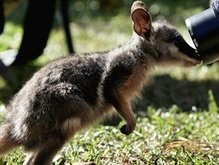 Собака спасла австралийку от напавшего кенгуру