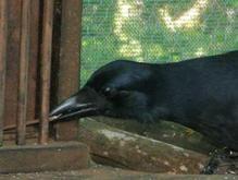 Ученые: Вороны способны логически мыслить