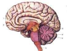 Продолжительность жизни зависит от размера мозга