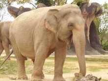 Слона-героинщика вылечили от наркозависимости