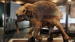 Российские ученые готовятся клонировать мамонта