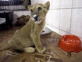 Найден человек, оставивший в московском дворе льва