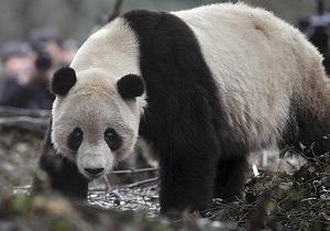 В китайском лесу панду застали за поеданием коровьего мяса